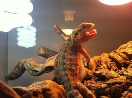Baby bearded dragon picture 2 by SGrafen