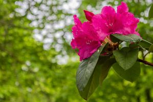 13-05 Rhododendron #3 by evionn