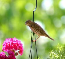 Finch on the porch by grumbleworts