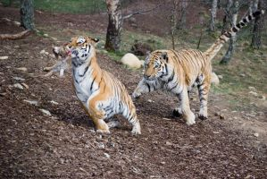 Tiger Chase by jgraham95