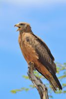 Yellow-billed Kite - Calling all Friends by LivingWild