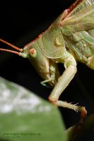 grasshopper head close-up by Oli4D
