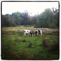 Cows are Cute from far away maybe... by LunaPicture