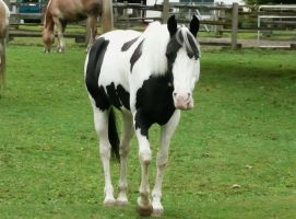 Handsome Cow Horse by Track-Maidens