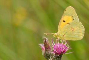 Dark Clouded Yellow by andabata