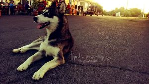 Borderline Husky by Piroshki-Photography