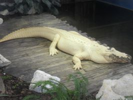 leucistic alligator by matash21