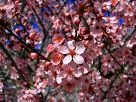 Cherry Blossom by lordwunjo