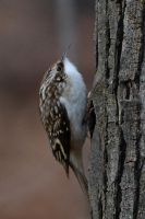 Brown Creeper journey by Sonussilentii