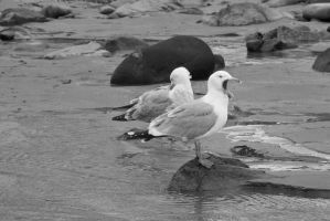 Standing Seagulls, Yawn and Preen 2 by Miss-Tbones