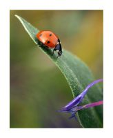 ladybird on plant by Bodghia