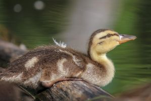 A little rest for a little Duck by FoldedWilderness