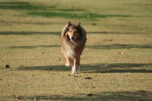 Sunset Collie Eight by CarissaGagashi