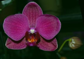 Deep Purple Orchid by tchalla811