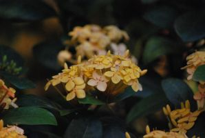 yellow four-petal flowers by meihua-stock