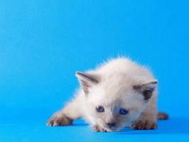 Wallpaper Little kitty blue by hoschie