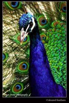 Coloured feathers by Dean-Irvine
