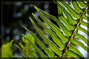 Sword Fern by theperfectlestat