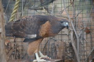 Red-tailed hawk 3 by Silver-she-wolf-14