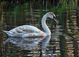 Swan, Day 62 by Anarzer