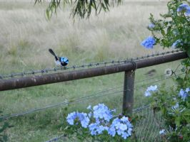 Blue wren by ImposingBeauty