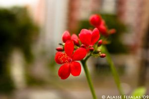 Full Red Bloom by alasse91