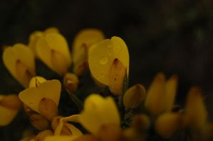 Gorse, Wales by lucky-april