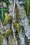 Hedera helix by yellowtoot
