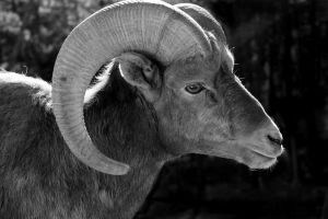 Bighorn Sheep Stock by OneSmallSquare