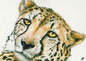 Cheetah - ACEO by Sofera