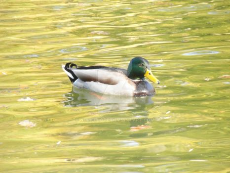 Wild duck 4 by Numellote