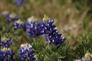 Texas Blue Bonnets 3 of 3 by AquaVixie
