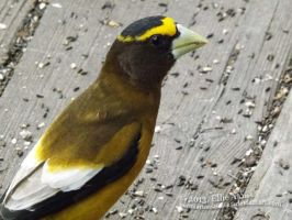 Evening Grosbeak 3 by RedFeatherFalconHawk