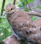 Placid Mourning Dove 3b by Windthin