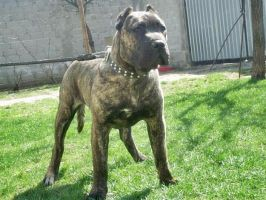 Dogo Canario by natiawarner
