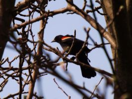 Red-winged Blackbird II by AppleBlossomGirl