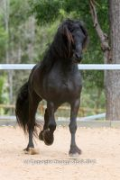 E Friesian trot mane up front on by Chunga-Stock