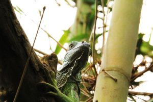 Green Iguana by deliquescing
