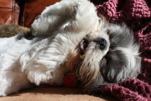 Happy Shih-Tzu by OptimalPursuits