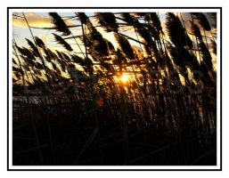 Reeds Hide Sun by lehPhotography
