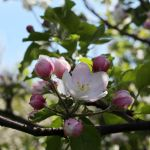 Apple blossoms by dsfotods