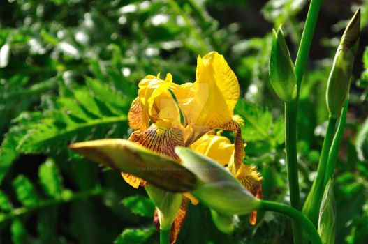 Yellow Iris by beautythroughalens