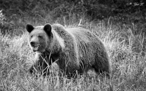 brown bear by Yair-Leibovich