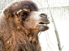 Bactrian Camel by YesOwl