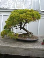 bonsai 1.4 -eastern white pine by meihua-stock