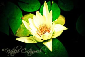 Yellow Lilly by natzcv