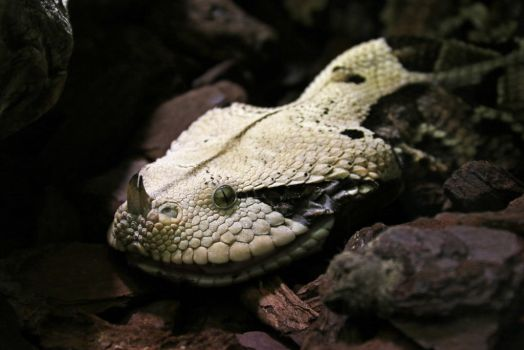 Gaboon viper by BetaDraconis