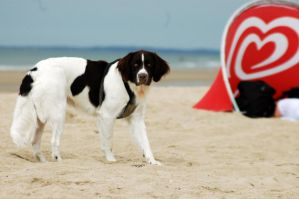 Handsome Dog On The Beach by Lilino