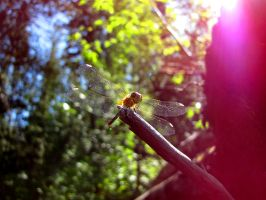 Dragonfly by Cam-s-creations
