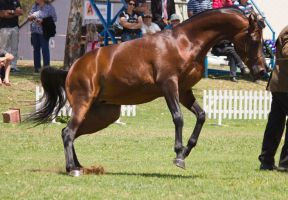 STOCK - TotR Arabians 2013-409 by fillyrox